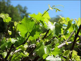 Grapevine copy