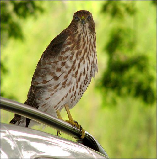 Hawk blog