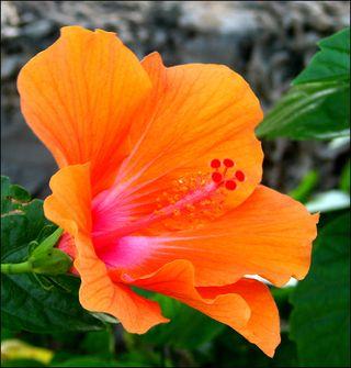 Hibiscus orange copy