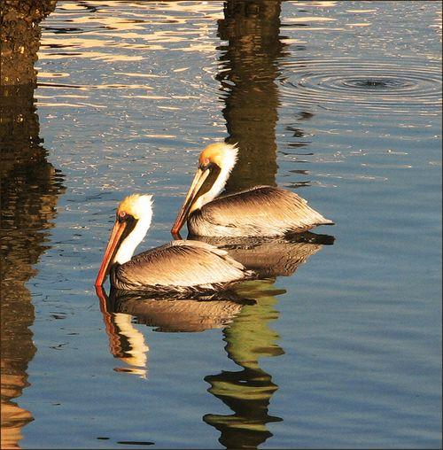 Pair pelicans