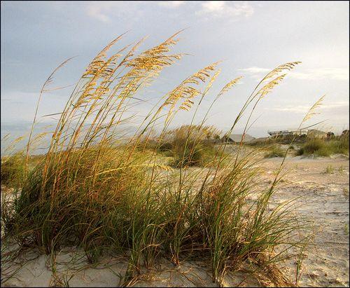 Sea oats blog