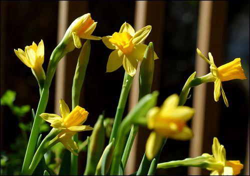 Daffodilsblog