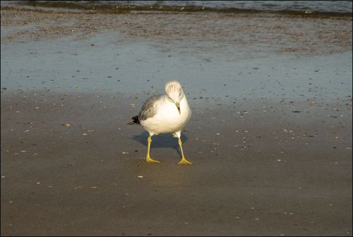 Forgetful gull