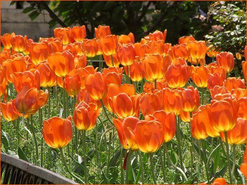 Tulips ornge