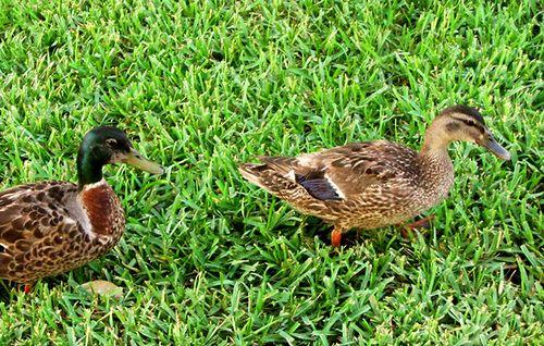 Thursday ducks blog