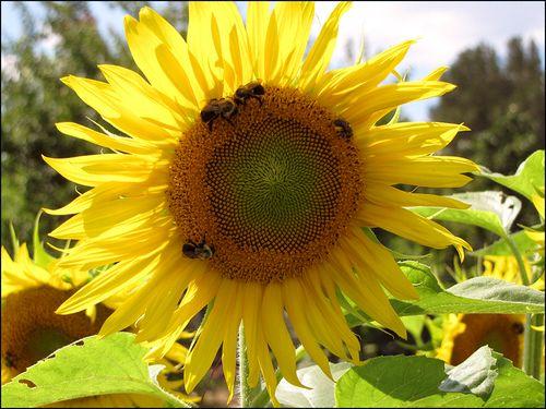 Sunflowr lngwd blog
