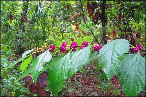 Beauty berry blog