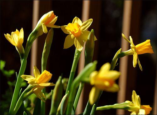 Daffodls blog