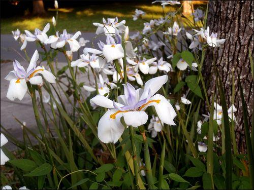 Irises blog