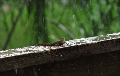 Lizd rain171