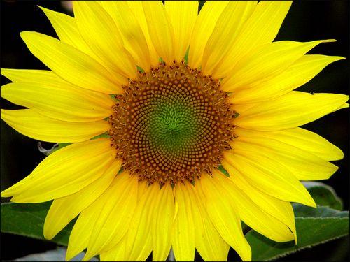 Sunflowerblog