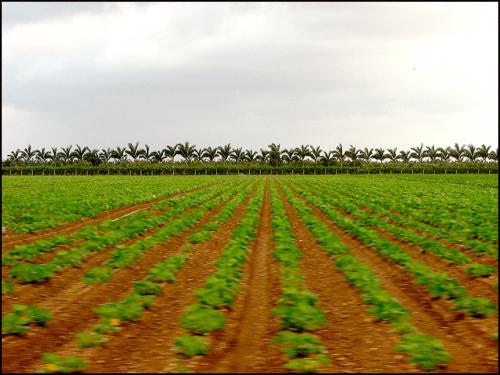 Rows-palmsweb