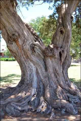 Cypress st.s. 05.31