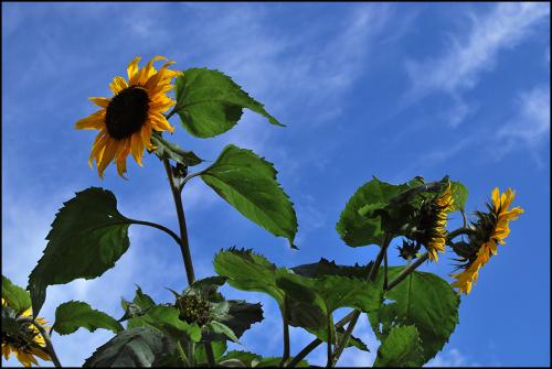 Sunflower blog
